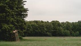 Deux cerfs communs sur une clairière de forêt Photos stock