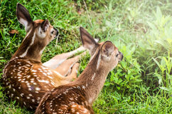 Deux cerfs de Virginie Fawn Enjoying Sunshine Photo libre de droits