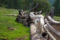 Deux chèvres à la frontière de sécurité Images stock