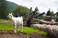 Deux chèvres à la frontière de sécurité Photo stock