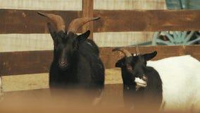 Deux chèvres à une ferme dans le hircus de capra de basse-cour banque de vidéos