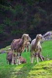 Deux chèvres éclairées à contre-jour regardant vers la droite Photos libres de droits