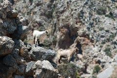 Deux chèvres Photos stock