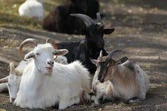 Deux chèvres Photographie stock