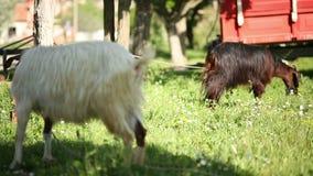 Deux chèvres alimentant le theirself en nature, Turquie banque de vidéos