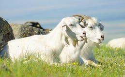 Deux chèvres blanches se tenant côte à côte sur l'herbe Photos stock