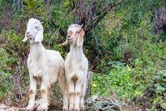Deux chèvres blanches se tenant ensemble photo libre de droits