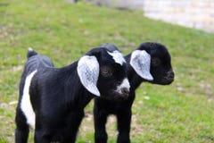 Deux chèvres d'enfant Image stock