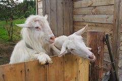 Deux chèvres dans la ferme Photographie stock