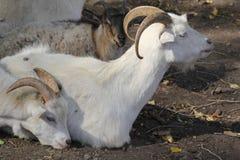 Deux chèvres dans le profil Photos libres de droits