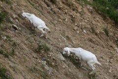 Deux chèvres mangent l'herbe des côtés raides Photographie stock