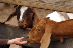 Deux chèvres plus aimables mangeant d'une main du ` s d'enfant par la barrière photographie stock libre de droits