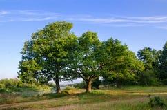 Deux chênes sur la berge Images stock