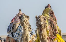 Deux chameau Kutch haut étroit Image stock
