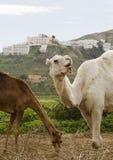 Deux chameaux Images stock