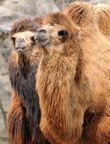 Deux chameaux Photo stock