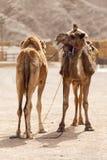 Deux chameaux Images libres de droits