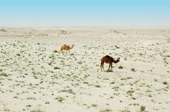 Deux chameaux dans le désert Image stock