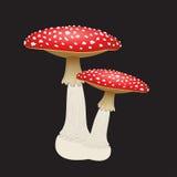 Deux champignons d'agaric de mouche d'isolement sur le fond noir Illustration de vecteur Photographie stock libre de droits