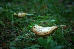 Deux champignons dans la forêt photo stock