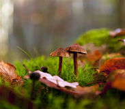 Deux champignons de couche Photos libres de droits