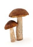 Deux champignons de couche Image stock