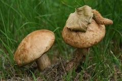 Deux champignons de couche comestibles sauvages Photos libres de droits