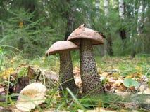 Deux champignons de couche de bouleau Images libres de droits