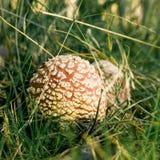 Deux champignons repérés petit par rouge se développent du côté de la voie dans l'herbe Photo libre de droits
