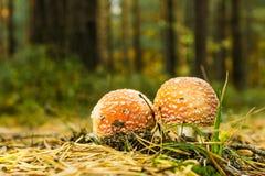 Deux champignons repérés petit par rouge se développent sur la voie couverte par des aiguilles Photographie stock