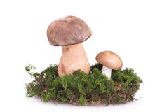 Deux champignons sur la pelouse Image stock