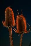 Deux chardons rouges Images stock