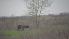 Deux chasseurs avec l'indicateur à cheveux longs allemand Drathaar banque de vidéos
