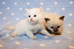 Deux chatons Photographie stock libre de droits