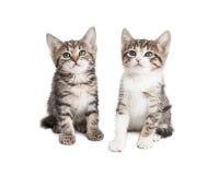 Deux chatons de bébé au-dessus du fond blanc Photo stock