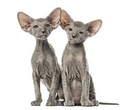 Deux chatons de Peterbald, chats, d'isolement Photos stock