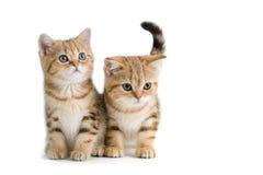 Deux chatons de race des Anglais Photo stock