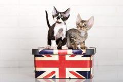 Deux chatons de rex du Devon Images libres de droits