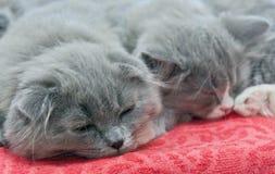 Deux chatons de sommeil Image libre de droits