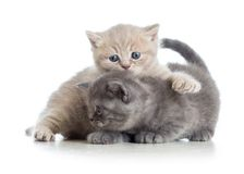 Deux chatons drôles jouent ensemble Image libre de droits