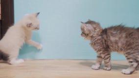 Deux chatons jouant le combat courant après l'un l'autre la vidéo drôle mignonne vidéo animée lente petit concept d'animal famili banque de vidéos