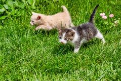 Deux chatons marchant par l'herbe photo stock