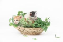 Deux chatons mignons de bébé posant dans le panier complètement des feuilles vertes Photo stock