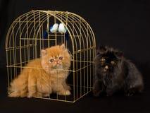 Deux chatons persans mignons avec la cage d'oiseau d'or Image libre de droits