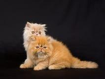 Deux chatons persans mignons sur le fond noir Image libre de droits