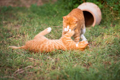 Deux chatons rouges Photo stock