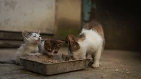 Deux chatons sans abri mangent des aliments pour chats Le problème des animaux sans abri en Europe de l'Est, refuge pour animaux, banque de vidéos