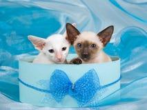 Deux chatons siamois mignons dans le cadre de cadeau bleu Photos stock