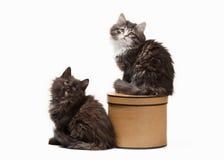 Deux chatons sibériens de tortue sur le fond blanc Images libres de droits