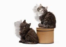 Deux chatons sibériens de tortue sur le fond blanc Photographie stock libre de droits